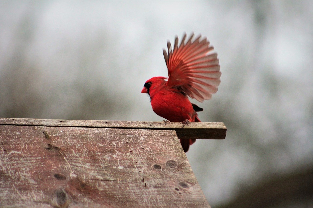What does a red bird symbolize after a loved one passes mean