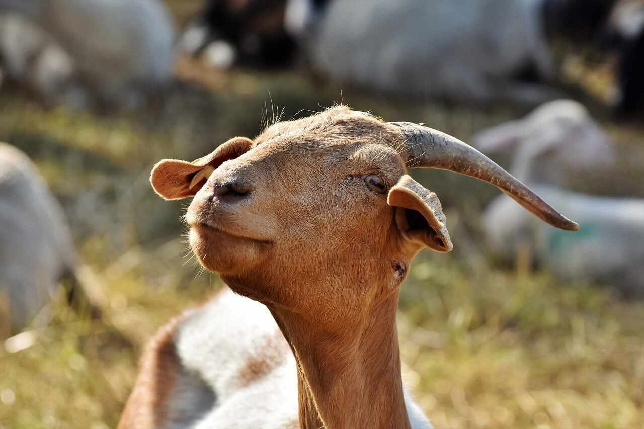 what does a goat symbolize