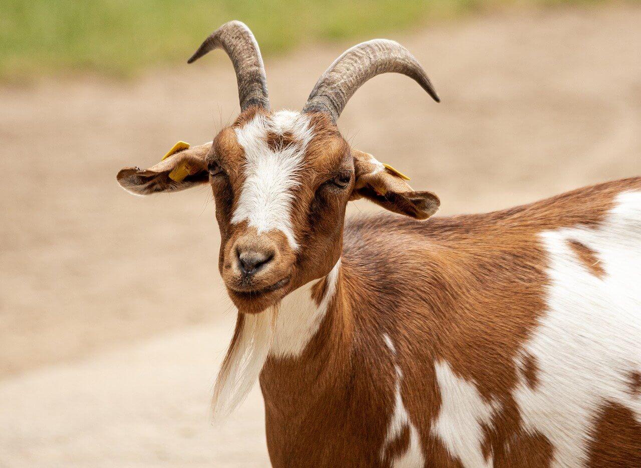 What does goat milk symbolize