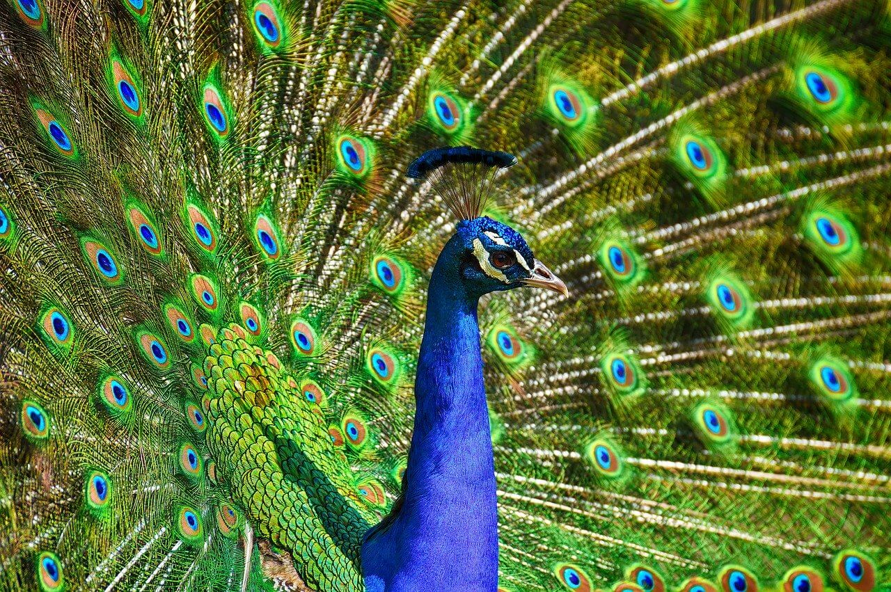 What does a peacock symbolize in Indian culture