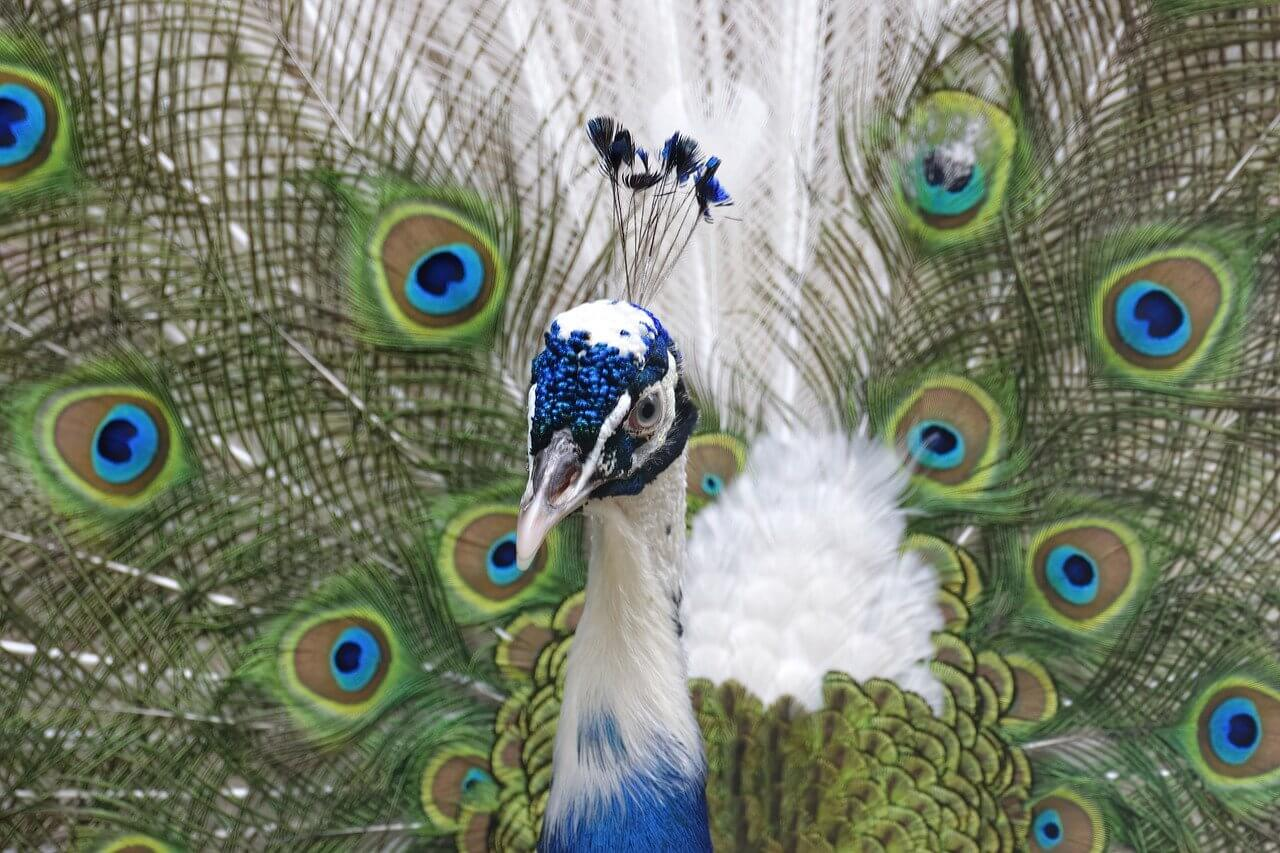 what does a peacock symbolize