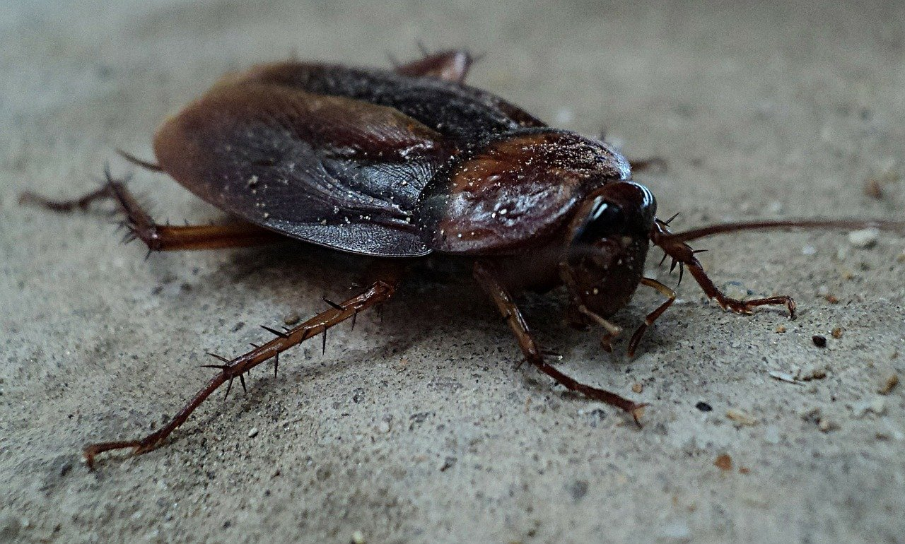 Dream about large roaches
