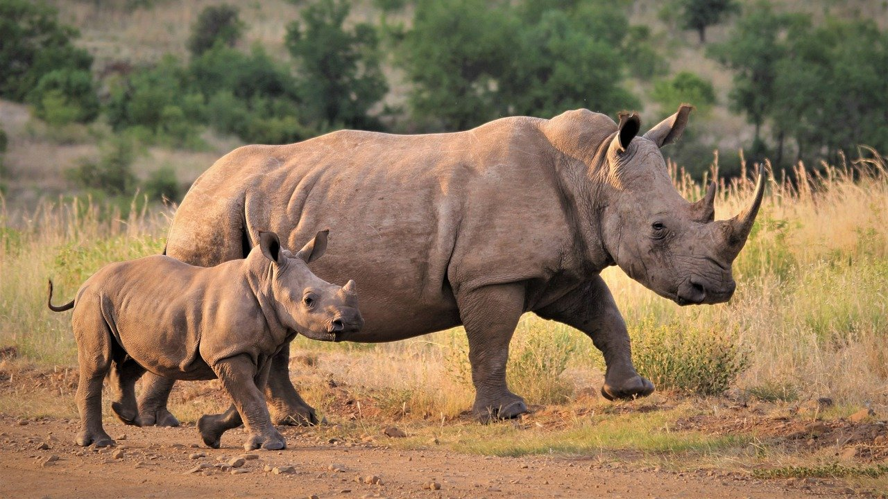 Is dreaming about rhino a phallic dream