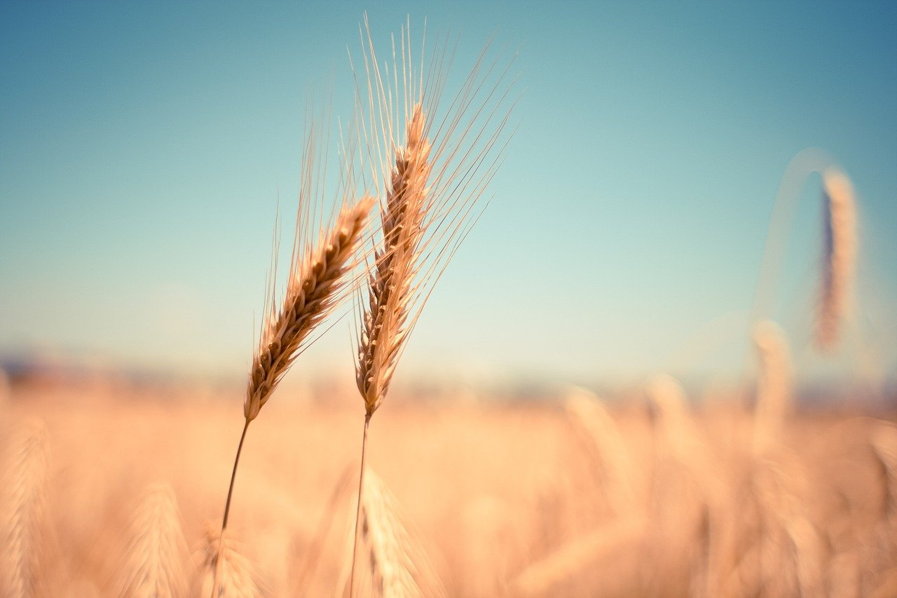What does wheat symbolize